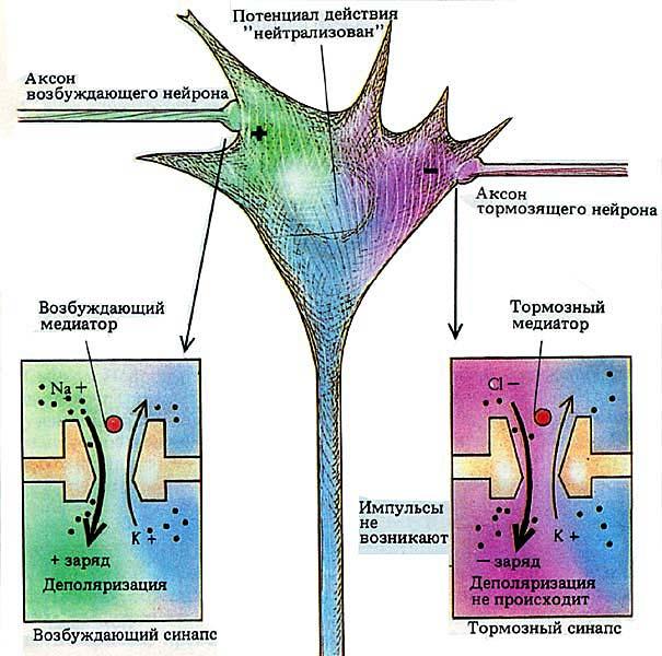 Описание типов темперамента. Возбуждающий/тормозящий синапс. Возбуждающий/тормозящий аксон